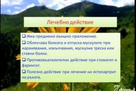Видео: Арника (билка) – гаргара и лечебни свойства
