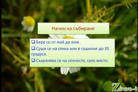 Видео: Лайка (билка) – лечебни свойства, чай и инхалация