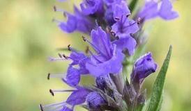 Исоп (растение) – чай и лечебно действие