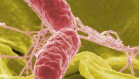 Ешерихия коли – заразяване