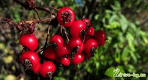 Видео:  Глог – лечебно действие и рецепти, чай