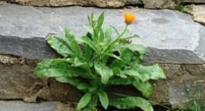 Невен (билка) – лечебно приложение, чай и мехлем